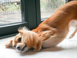 dachshund × chihuahua