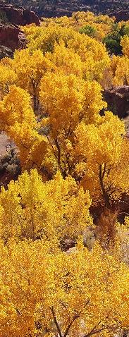 cottonwood trees in fall, Escalante Utah canyons guided hiking
