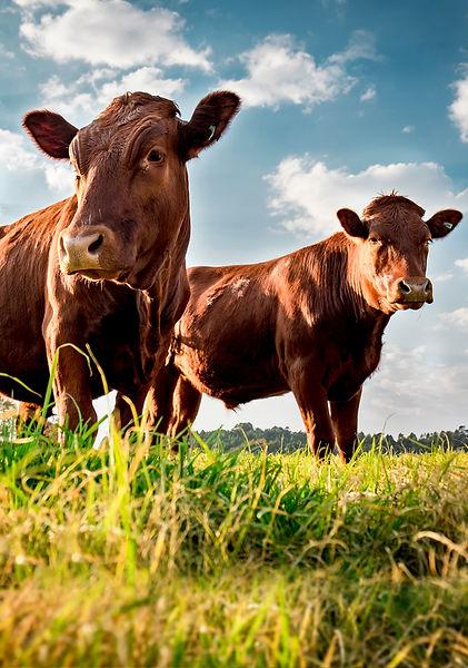 vacas2.jpg