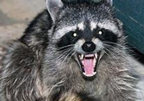 raccoon .jpg