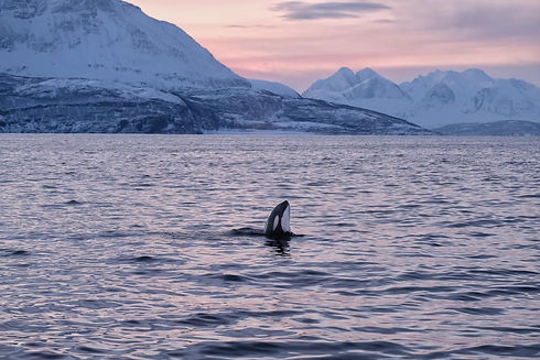 Nordic hval-153.jpg