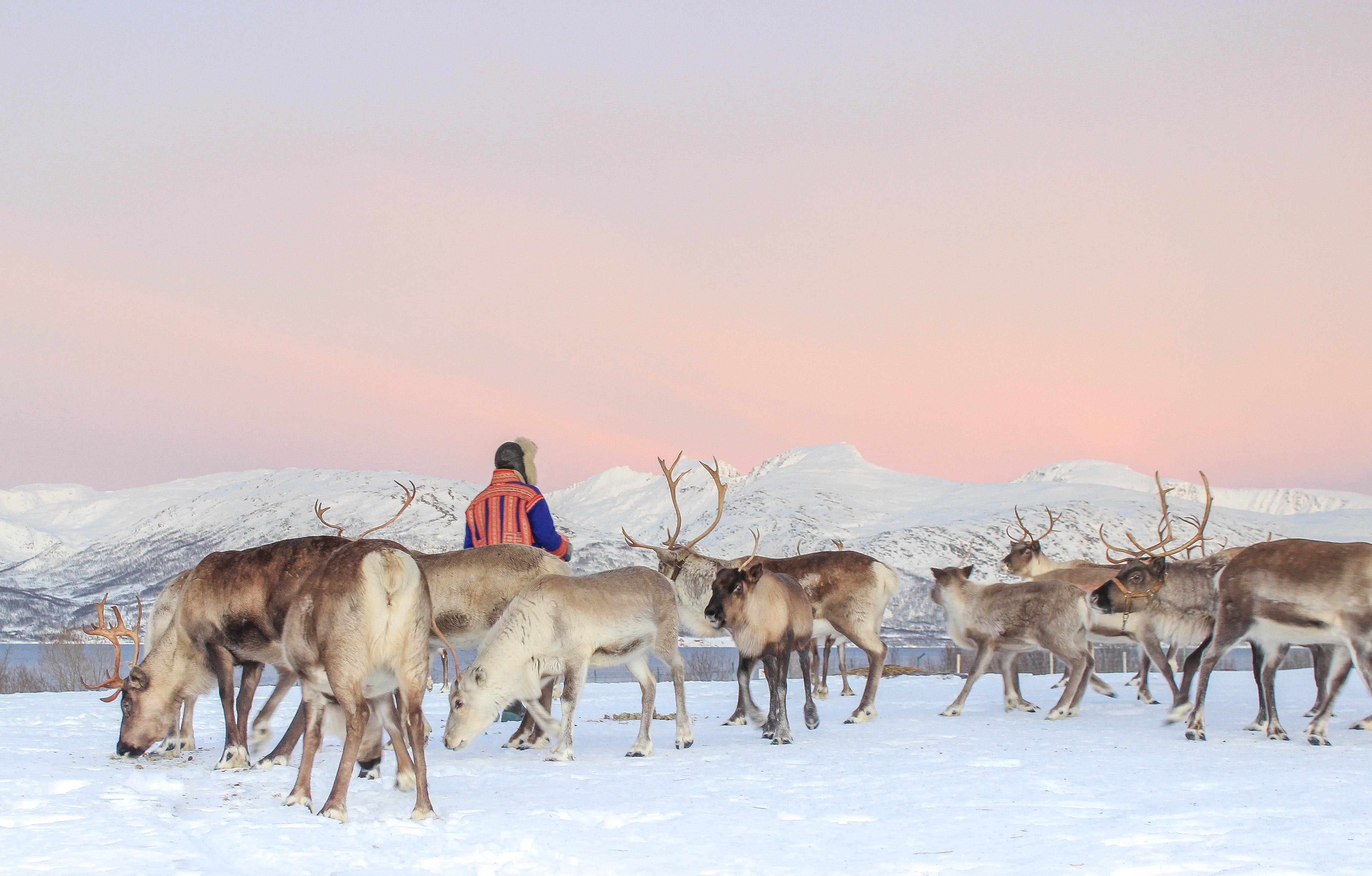 Reindeer Feeding photo Piaa Kempinen.jpg