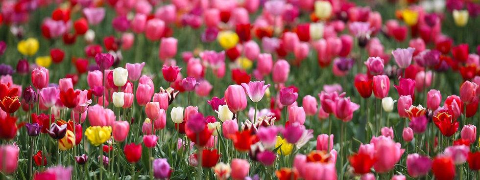 tulpen-zum-selbstpfluecken-bei.jpg