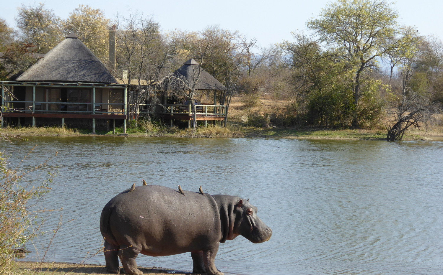 Hippos at Weaver's Nest Lodge