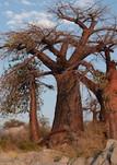 leKubu Island - baobab planet
