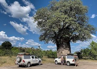 baobab - old giants