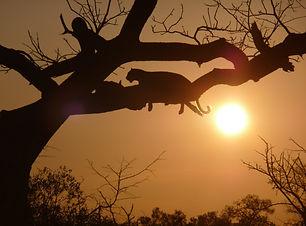 C Schnell-leopards-35.jpg