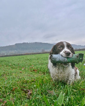 Wag with a dummy in his mouth during a working session