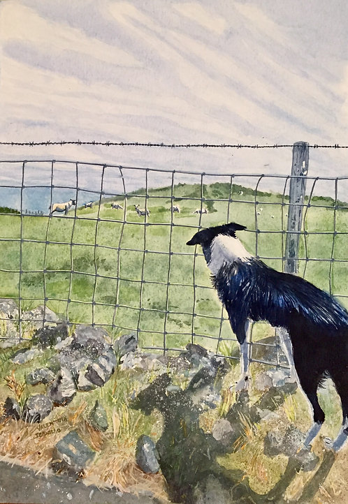 Border Collie looking at sheep in background through a farm fence. It's in Pembrokeshire on a sunny day.