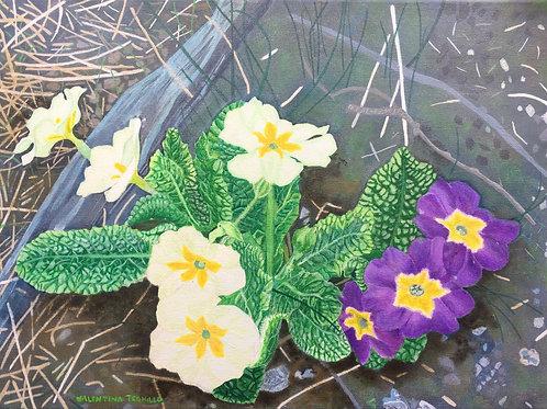 Primroses in your garden