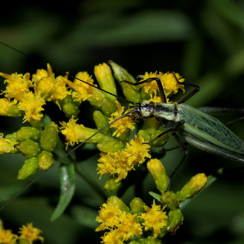 Black-horned or Forbes's Tree Cricket