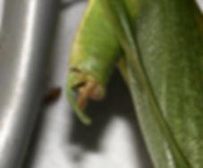 Northern Bush Katydid male has not tail