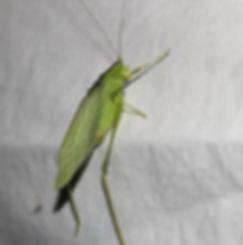 Northern Bush Katydid male on moth sheet