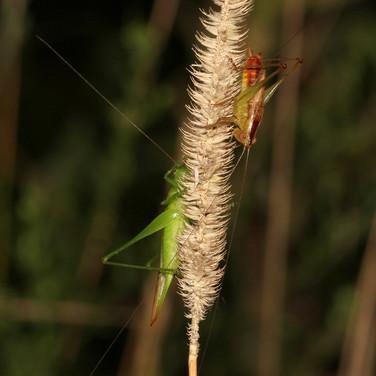Katydids love timothy seeds