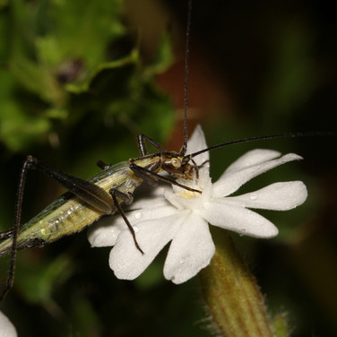 Black-horned or Forbes's Tree Cricket eating bladder campion flower