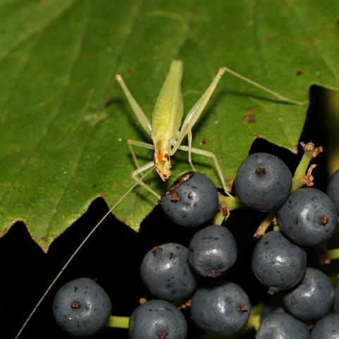 Narrow-winged Tree Cricket