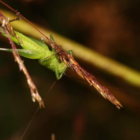 Katydids love grass and sedge seeds