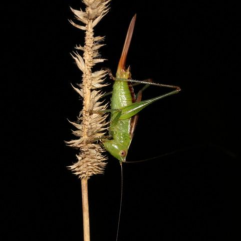 Short-winged Meadow Katydid