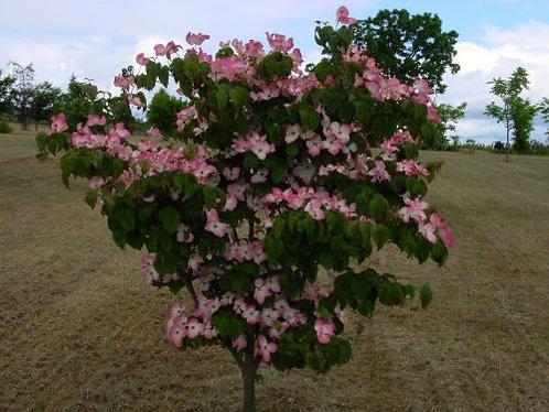 Radiant Rose Dogwood