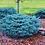 Thumbnail: Globe Blue Spruce