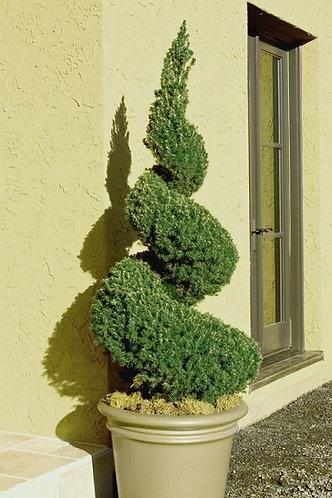 Dwarf Alberta Spruce (Spirals, Double Spirals, and Pom Poms)