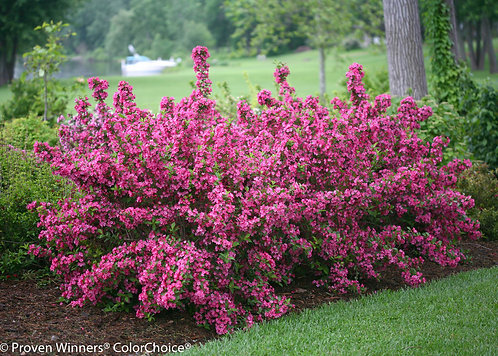 Flaming Pink Weigela
