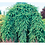 Thumbnail: Weeping Norway Spruce