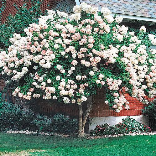 Pee Gee Hydrangea Tree