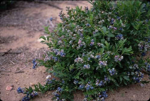 Native Blue Decorative Blueberry