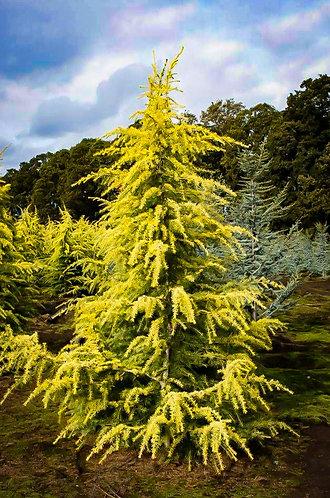 Golden Deodora Cedar