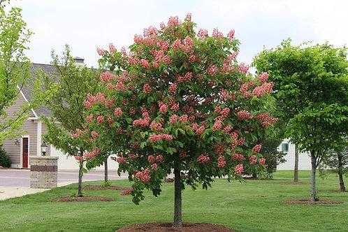 Red Horse Chestnut (Briotl)