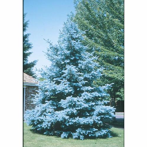 Bacheri Blue Spruce