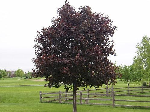 Crimson King Maple
