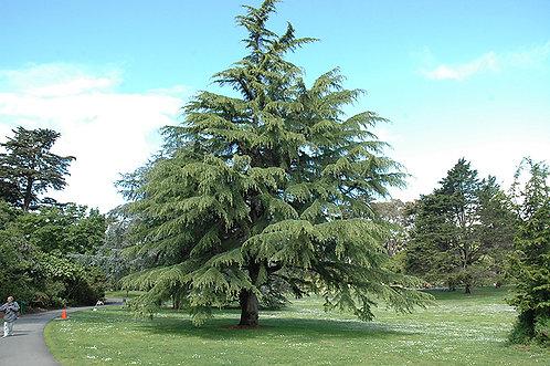 Deodora Cedar