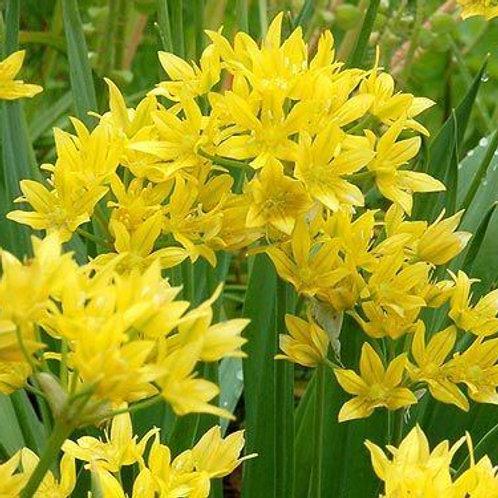 Allium moly - BIO