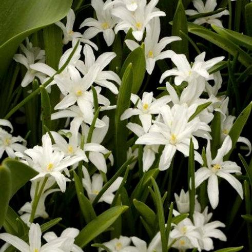Chionodoxa luciliae 'Alba'