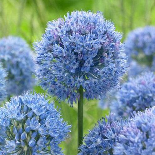 Allium caeruleum - BIO