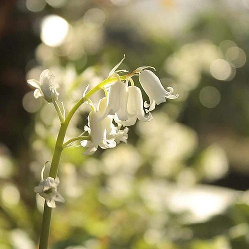 Hyacinthoides non-scripta 'Alba' - Witte Boshyacint