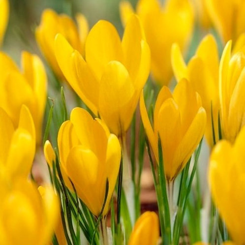 Crocus flavus 'Golden Yellow' - BIO