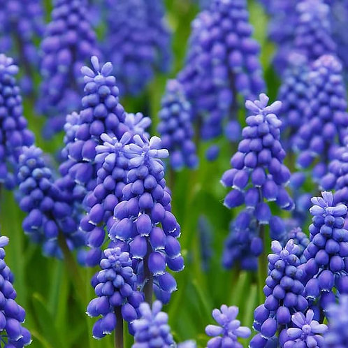 Muscari armeniacum - Blauwe druifjes