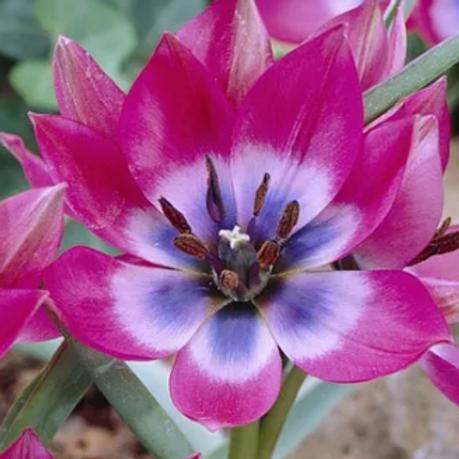 Tulipa 'Little Beauty' - BIO