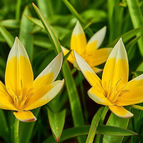 Tulipa tarda - BIO