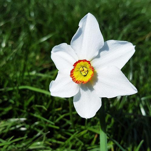 Narcissus poëticus var. recurvus - BIO