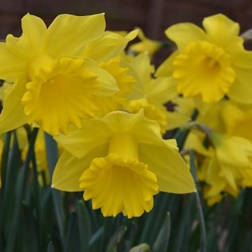 Narcissus Golden Harvest'
