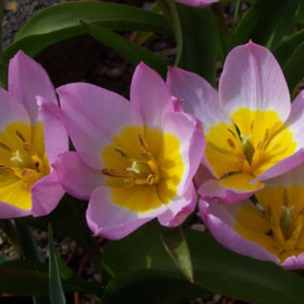 Tulipa bakeri 'Lilac Wonder' - BIO