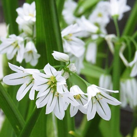 Allium triquetrum - Driekantig look