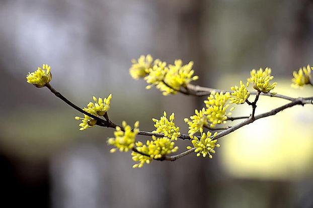 cornus-spring-flowers-flowers-nature-lan