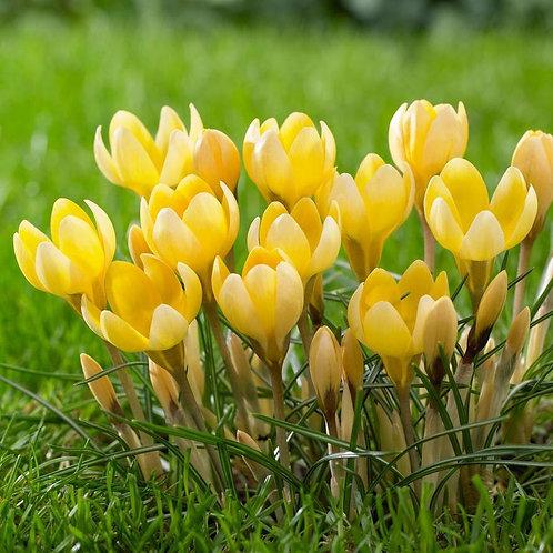 Crocus chrysanthus 'Romance' - BIO