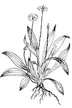 Crystal Apotheke Rosenheim - Pflanze der Saison - Spitzwegerich