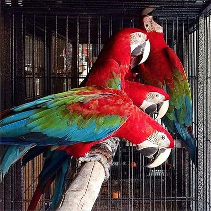 GREEN WINGED MACAWS.jpg